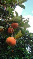 次郎柿も食べ頃。