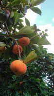 次郎柿収穫。