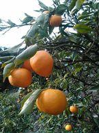 フルーティな柑橘の香り!はれひめ【家庭用】5kg