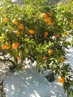 フルーティな柑橘の香り!はれひめ【家庭用】10kg