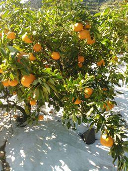 送料無料!! フルーティな柑橘の香り!はれひめ【家庭用】10kg