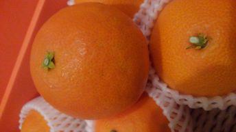 送料無料!魔法の食感、高級柑橘!【紅まどんな】大玉